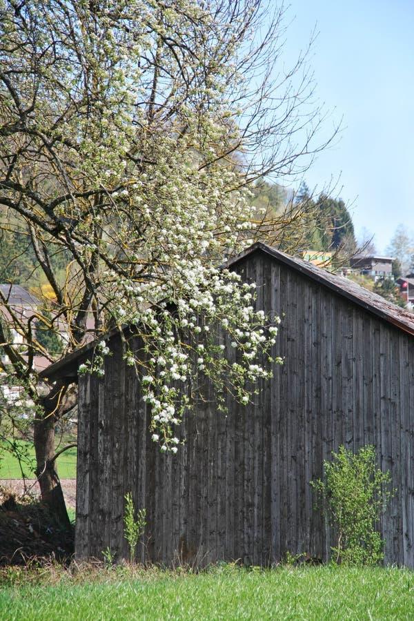 Bloomboom in een oude schuur stock foto