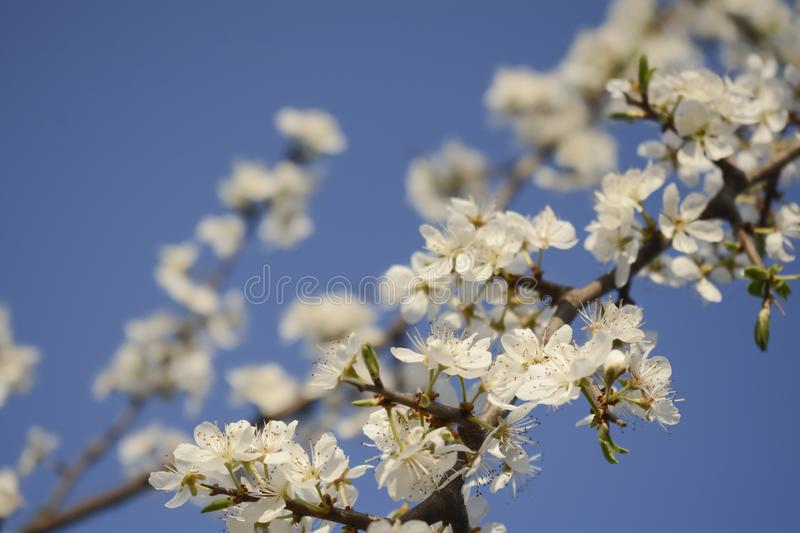 Bloomed branches royalty free stock image