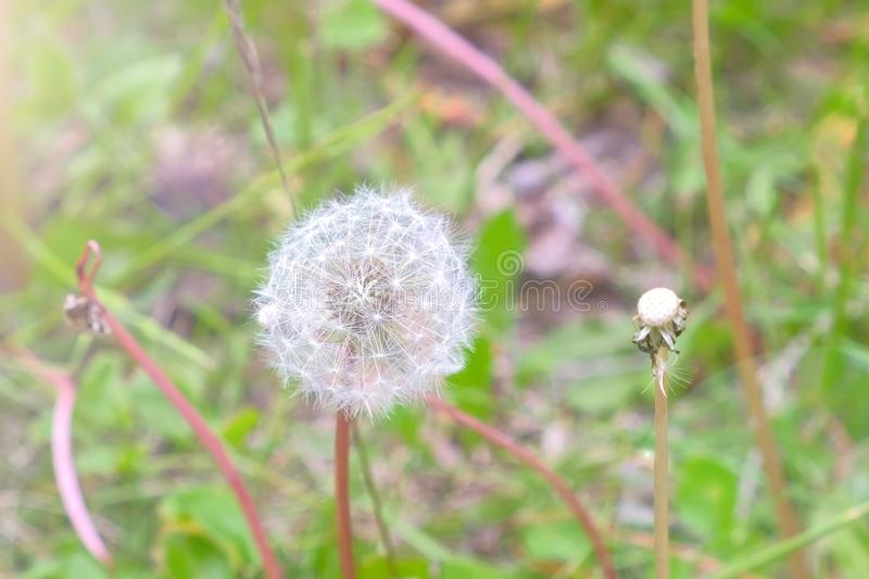 Bloomed dandelion flower in nature grows from green grass in meadow. stock photo