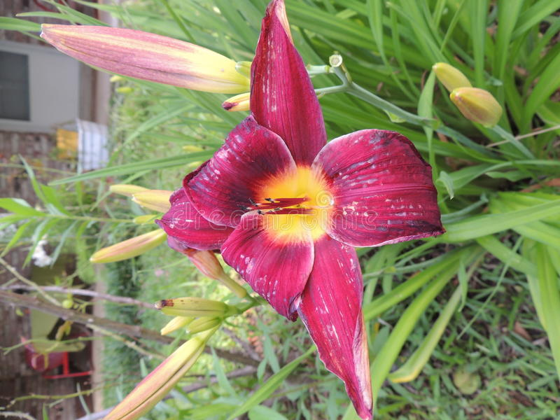 Bloomed Lily royalty free stock images
