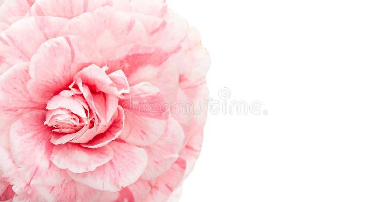 Pink camellia flower isolated on white background stock image