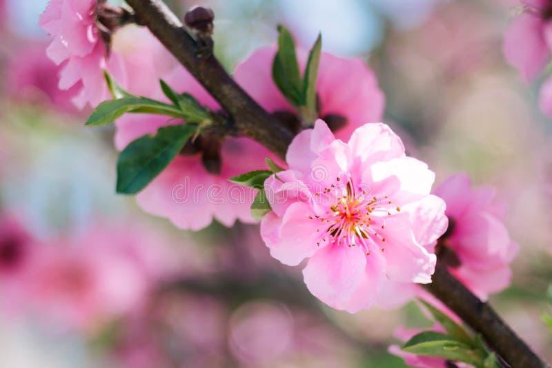 Bloomende roze bloesem met blauwe achtergrond royalty-vrije stock foto's
