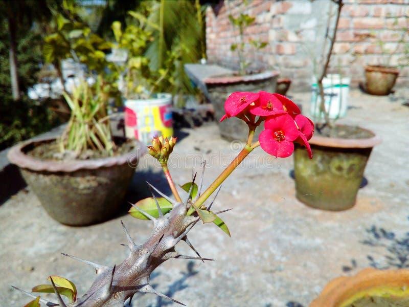 Bloomende roze kleurcactuusbloem met natuurlijke achtergrond royalty-vrije stock foto