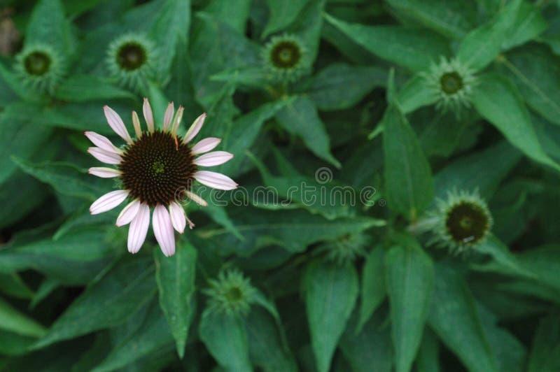 Bloomer di prestito fotografie stock libere da diritti