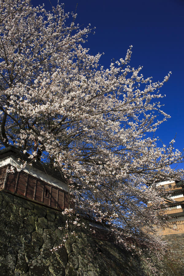 bloomes开花樱桃充分的护城河takashima 库存图片