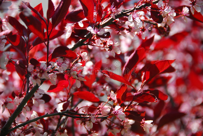 bloomig drzewo wiśniowe obraz royalty free