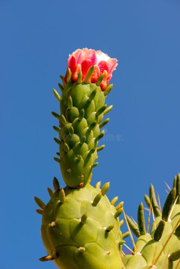 Bloomin κάκτων στον ήλιο στοκ φωτογραφίες με δικαίωμα ελεύθερης χρήσης