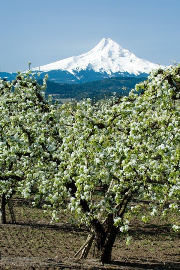 Bloomin dei frutteti della pera immagine stock