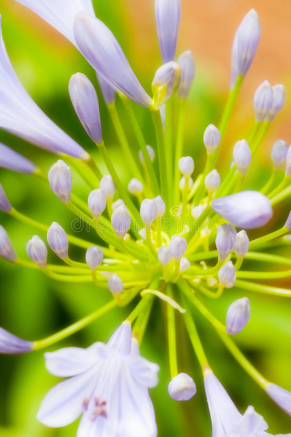 Blooming Agapanthus. A soft focused, abstract view of a blooming Agapanthus flower, commonly known as Lily of the Nile royalty free stock photography