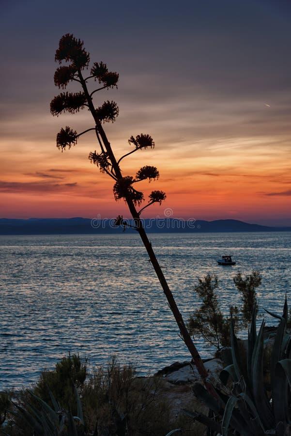 Sunset scene, agave plant at the Adriatic sea. Blooming agave plant and beautiful sunset in Makarska riviera, Dalmatia. Croatia. The Adriatic sea royalty free stock photos