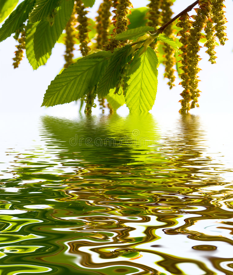 Blooming alder. Tree in the forest at the water royalty free stock photos