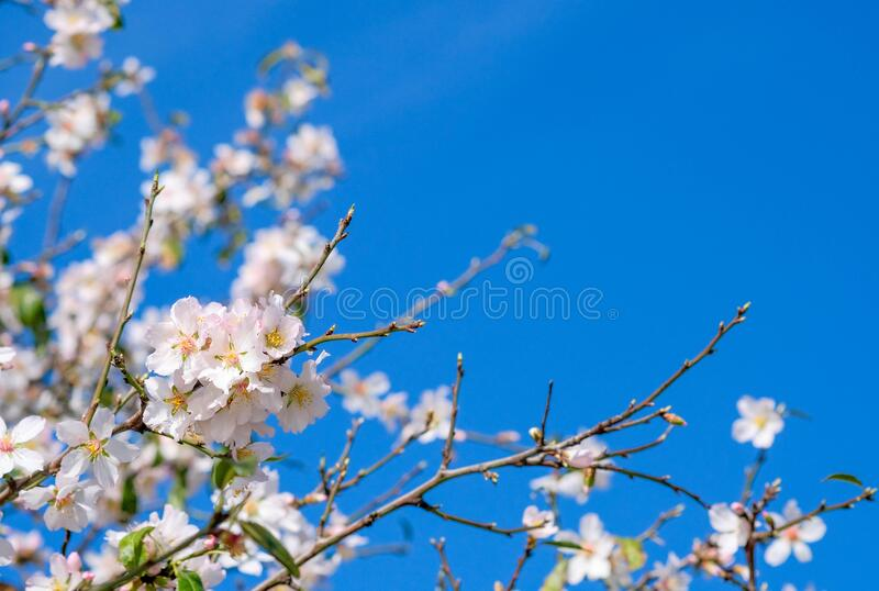 Blooming almond tree flowers, green leaves on blurred blue sky background royalty free stock photos