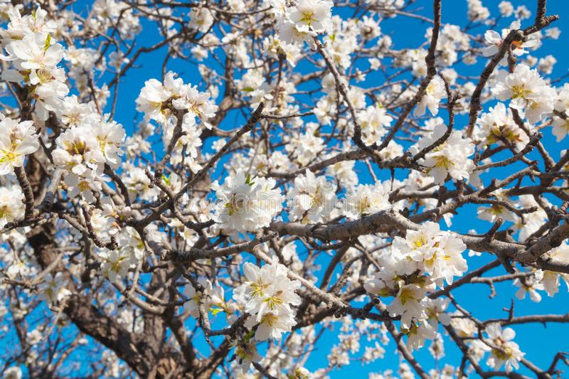 Blooming almond tree in spring time stock photo