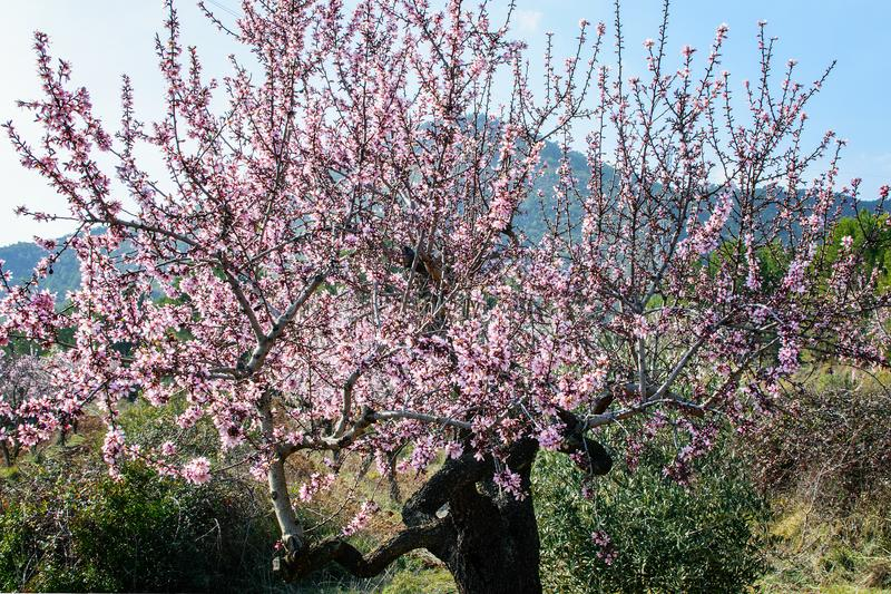 Blooming almond tree in the private garden. Blooming almond tree in spring time in spain in mountains royalty free stock photos