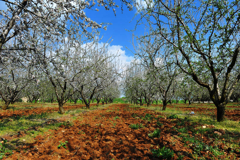 Blooming Almond Trees Royalty Free Stock Image