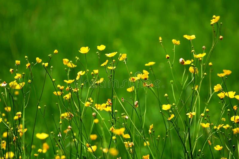 Blooming alpine flowers royalty free stock image