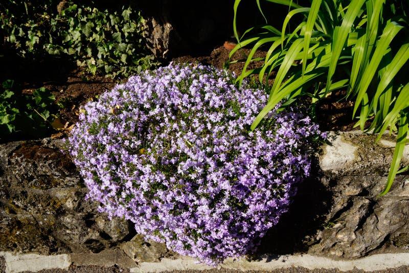 Blooming alyssum purple flower pillow stock photos