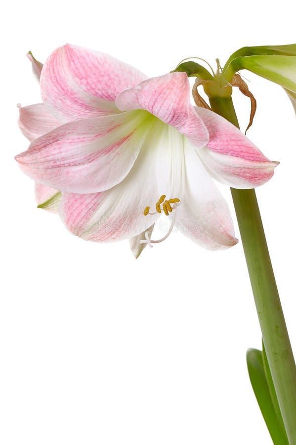 Blooming amaryllis royalty free stock photography