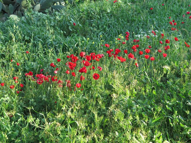 Blooming anemones field. Blooming red anemones field, Israel royalty free stock photography