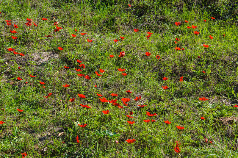 Blooming anemones field. Blooming red anemones field, Israel stock photos