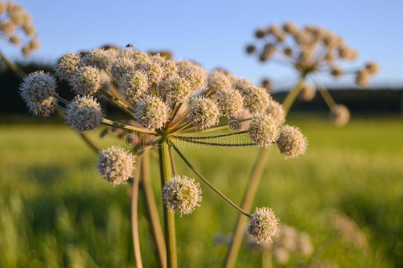 Blooming angelica. Angelica sylvestris, in a summer meadow royalty free stock photo