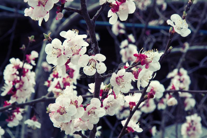 Blooming apple and apricot orchards in the Lesser Himalayas royalty free stock photo