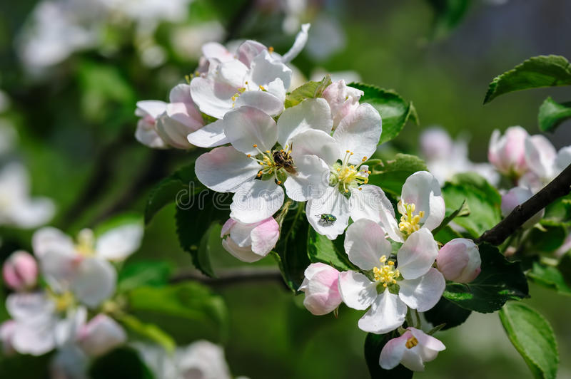 Blooming apple flower. Beautiful blooming apple tree closeup, bee and bug at flowers stock image