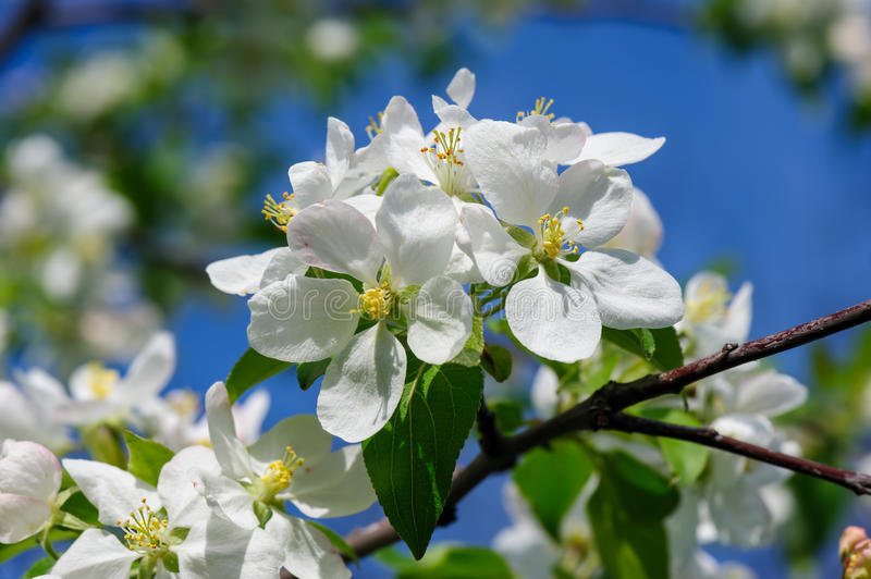 Blooming apple flower. Beautiful blooming apple tree flowers closeup during springtime stock images