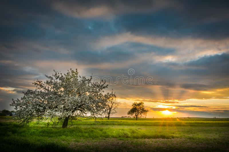 Blooming apple orchard in Poland stock photos