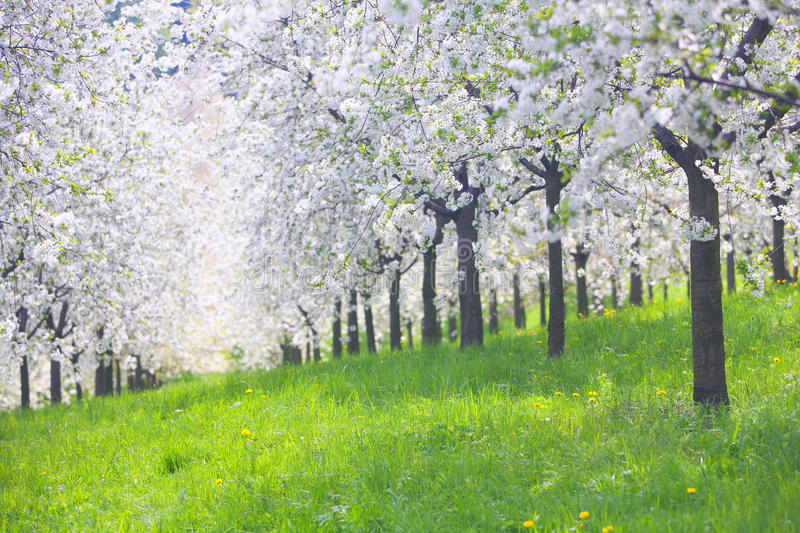 Blooming apple orchard with yellow dandelions in spring royalty free stock photography