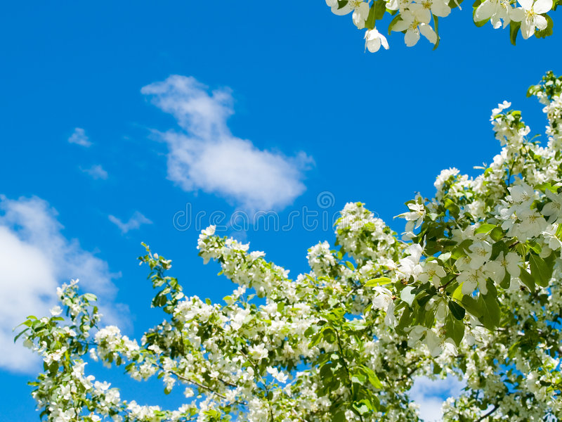 Blooming apple tree background royalty free stock photography