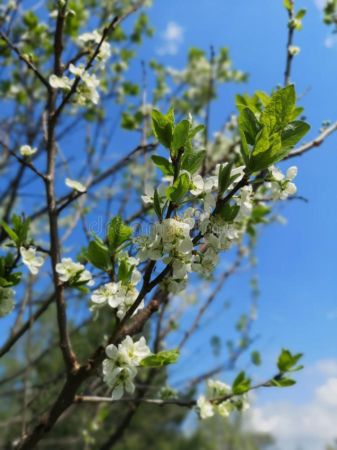 Blooming apple tree royalty free stock photography