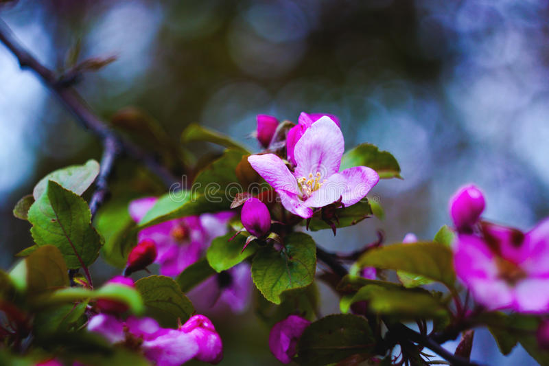 Blooming apple tree on a branch stock image