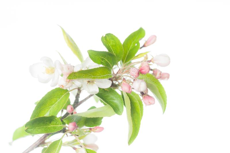 Apple Branch full of Flowers. Blooming apple tree branch with fresh green leaves is portrayed on a pure white background stock photo