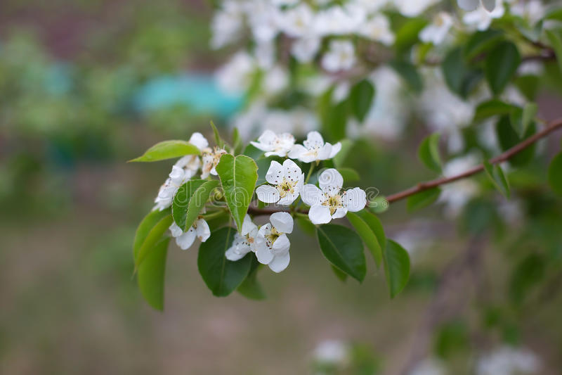 Blooming apple tree branch in the garden royalty free stock images