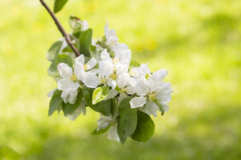 Blooming apple tree, branch with white loaves with delicate thin beautiful flowers of apple with leaves stamens stock photo