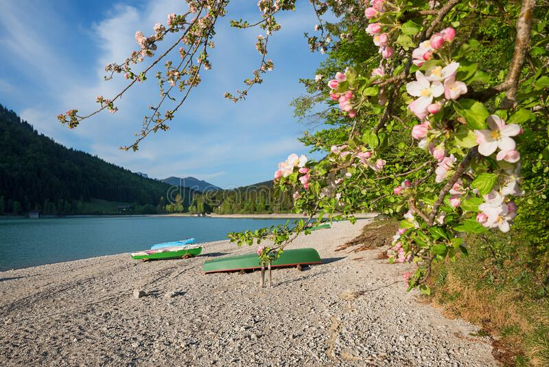Blooming apple tree branches at walchensee lakeside, gravel beach and boats, bavarian landscape stock photography