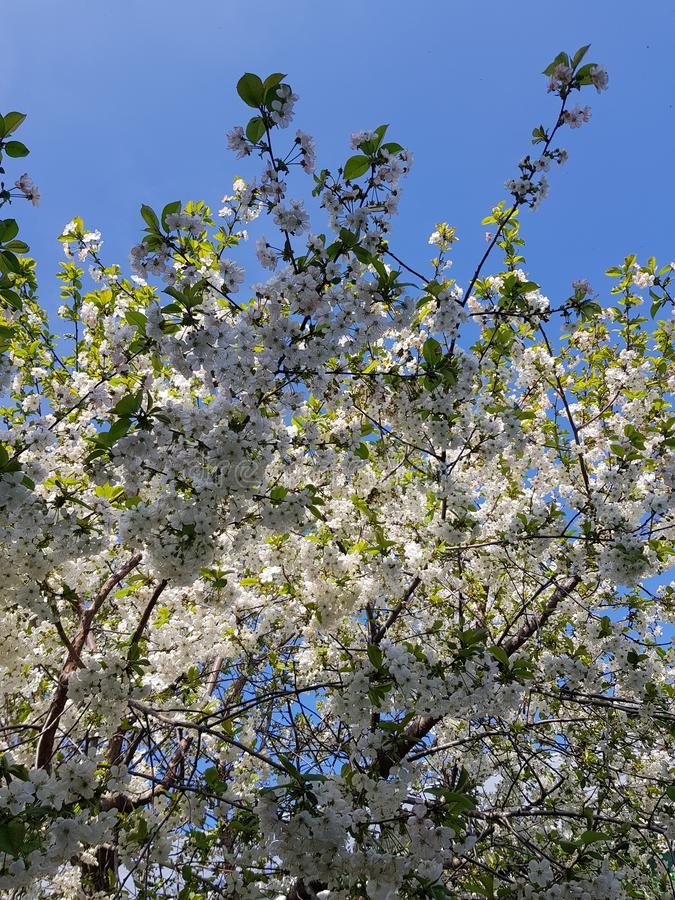 Blooming apple tree branches. White flowers against the bright blue sky and sunlight. Spring  landscape stock photo