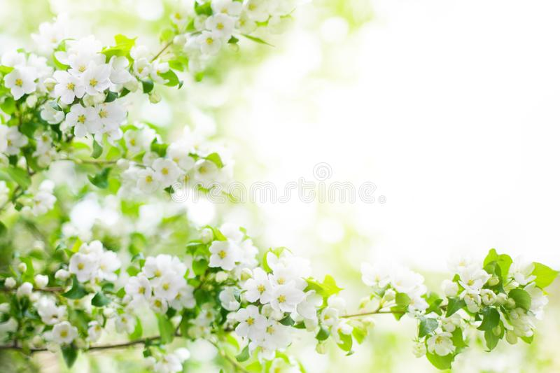 Blooming apple tree branches, white flowers on green leaves blurred bokeh background close up, spring cherry blossom, sakura bloom stock image