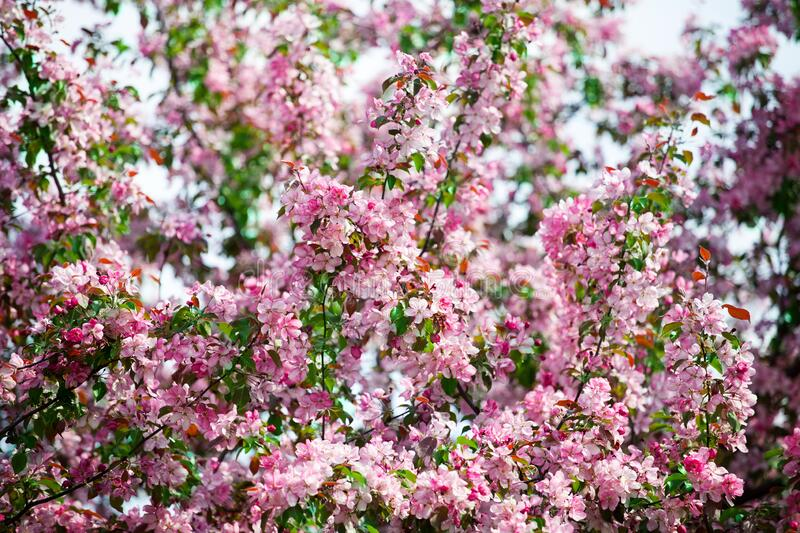 Blooming apple tree branches, white and pink flowers bunch, green leaves on blurred background close up,, cherry blossom, sakura royalty free stock image
