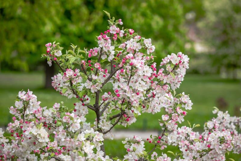 Blooming Apple Tree stock photo
