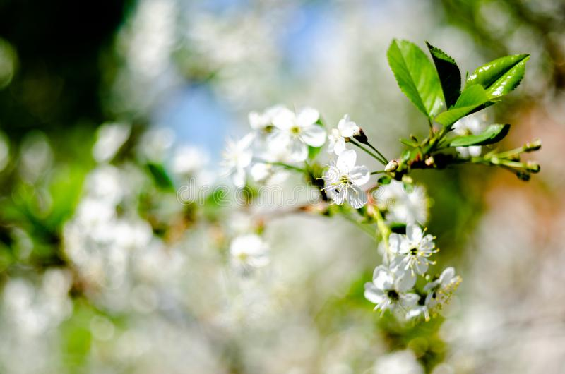Blooming apple tree, garden, spring flowers against the blue sky royalty free stock photo