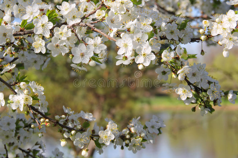 Blooming Apple Tree by the Lake. Blooming apple tree branch in spring by the lake royalty free stock photos
