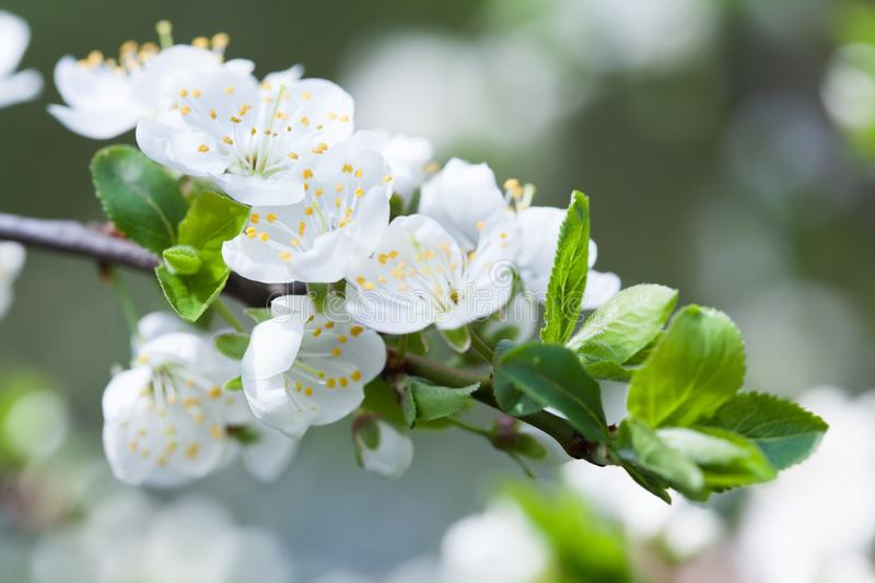 Blooming apple tree. Macro view white flowers. Spring nature landscape. Soft background photo stock image