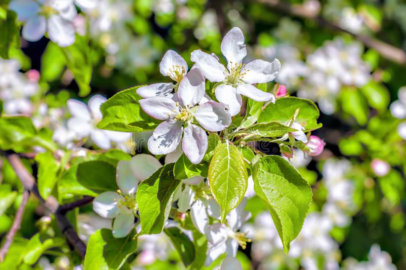 White apple tree flowers closeup. Blooming flowers in a sunny spring day background. royalty free stock image