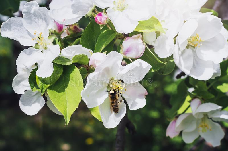 Blooming apple tree in the rays of sunlight. The wasp sits on a flower. Close-up royalty free stock images