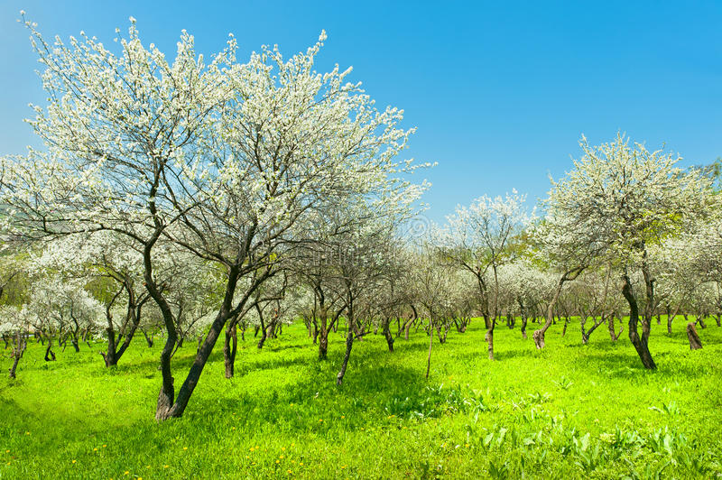 Blooming apple trees garden natural view of korea royalty free stock photography