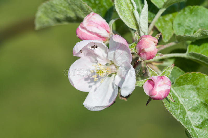 Blooming apple trees in the spring apple orchard. Photo taken in Canada's apple orchard in May 2016 royalty free stock photography