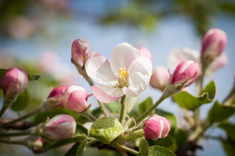 Blooming apple trees in the spring apple orchard. Photo taken in Canada's apple orchard in May 2016 royalty free stock photo