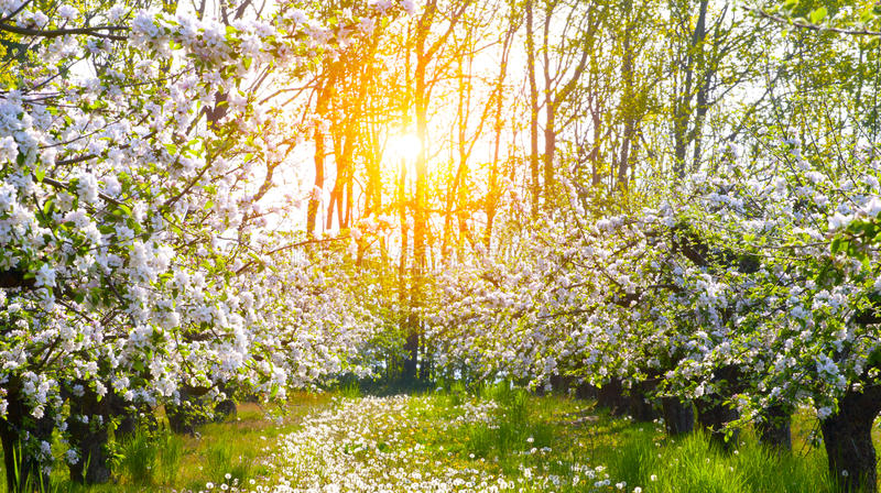 Blooming apple trees at spring royalty free stock photos